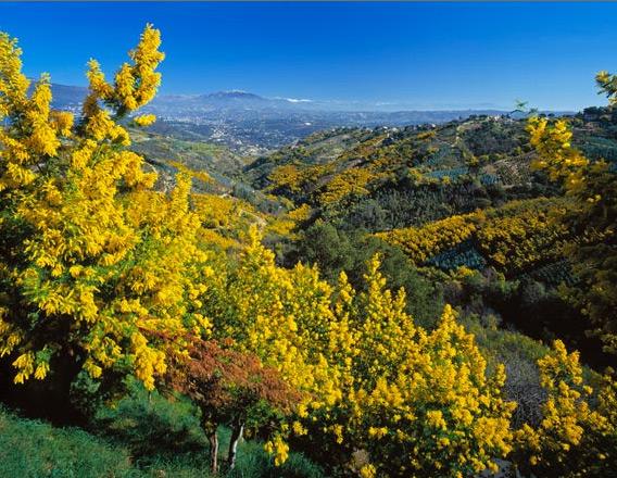 provence-centre-mimosa-winter
